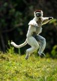 Verreaux Sifaka que salta bipedally en un movimiento delantero y oblicuo en Madagascar imágenes de archivo libres de regalías