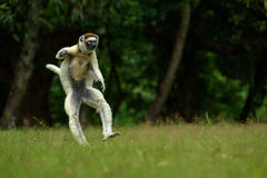 Verreaux Sifaka w Madagascar Zdjęcia Stock