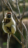 Verreaux Sifaka w Madagascar Fotografia Royalty Free