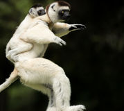 Verreaux Sifika, κερκοπίθηκος, Μαδαγασκάρη Στοκ εικόνα με δικαίωμα ελεύθερης χρήσης