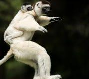 Verreaux Sifika, лемур, Мадагаскар Стоковое Изображение RF