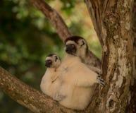 Verreaux Sifika, matki i dziecka lemur, Madagascar Zdjęcia Stock