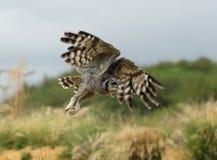 Verreaux& x27; s Eagle sowa Zdjęcia Royalty Free