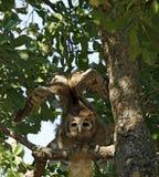 Verreauxs Eagle-Owl Taking Off Fotografering för Bildbyråer
