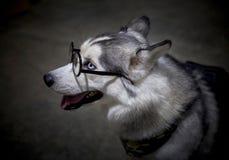 Verres de port de chien de chien de traîneau sibérien Photo stock