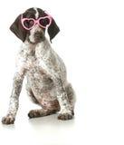 Verres de port de chien Image libre de droits