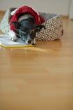 Verres de port de chien mignon et costume rouge sur son divan au milieu d'une salle vide Images stock