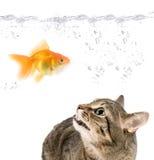 Verärgerte Katze- und Goldfische Stockfoto