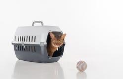 Verärgerte und neugierige abyssinische Katze, die im Kasten sitzt und heraus mit Spielzeugball schaut Getrennt auf weißem Hinterg Stockfotografie