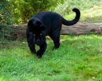 Verärgerter schwarzer Jaguar, der sich vorwärts anpirscht Stockfoto