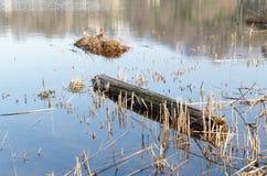 Verringern Sie trockene Schilfe und Holz auf einem Teich Lizenzfreies Stockfoto