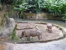Verro allo zoo di Singapore Immagine Stock