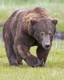 Verro dell'orso dell'orso grigio Fotografie Stock Libere da Diritti