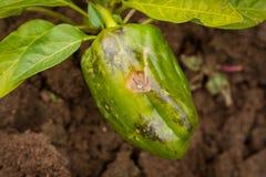 Verrotting van de groene paprika de Getroffen Top in Tuin royalty-vrije stock foto's