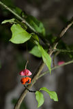 Verrucosa Scop d'Euonymus. Photo stock