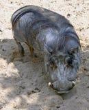 Verruga-cerdo Foto de archivo libre de regalías