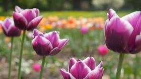 Verrukkelijke Purpere Tulpen in Parkbloemen Sluit omhoog geschoten stock video