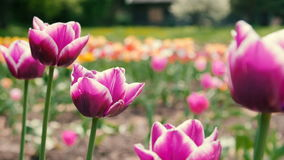 Verrukkelijke Purpere Tulpen in Parkbloemen Sluit omhoog geschoten stock videobeelden