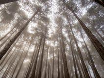 Verrukt mistig bos van pijnbomen Stock Foto's