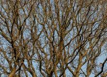 Verrukte Verwarringsboom Stock Afbeeldingen