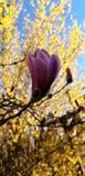 Verry s?llsynt magnoliatr?d i min tr?dg?rd arkivbilder