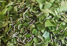Vers à soie mangeant des feuilles photographie stock libre de droits