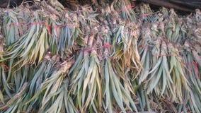 Vers ananaslandbouwbedrijf Chaiyaphum Thailand royalty-vrije stock afbeelding