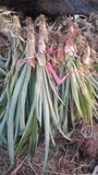 Vers ananaslandbouwbedrijf Chaiyaphum Thailand royalty-vrije stock foto's
