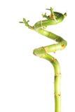 Vers bamboe op witte achtergrond Royalty-vrije Stock Fotografie