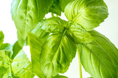 Vers Basil Herb Leaves Closeup Royalty-vrije Stock Afbeelding