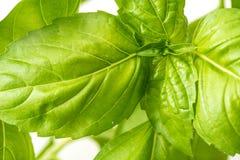 Vers Basil Herb Leaves Closeup Stock Fotografie
