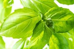 Vers Basil Herb Leaves Closeup Stock Afbeeldingen