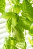 Vers Basil Herb Leaves Closeup Stock Foto's