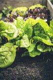 Vers biobladsalade opgeheven bed Royalty-vrije Stock Afbeeldingen