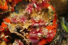 Vers de chiffon de plume de fente-couronne d'espèce marine Photographie stock