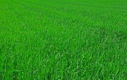 Vers de lente groen gras Royalty-vrije Stock Afbeeldingen