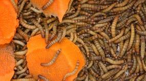 Vers, vers de repas larves des morceaux de molitorwith de Tenebrio de scarabée de carottes images libres de droits
