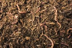 Vers de terre dans le compost/saleté Images stock