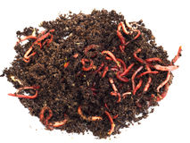 Vers de terre rouges en compost Image stock