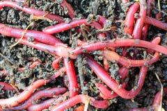 Vers de terre rouges en compost Photographie stock libre de droits