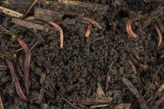 Vers de terre rouges en compost Photographie stock