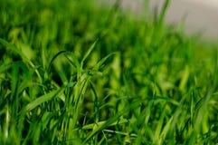 Vers dik gras met waterdalingen in de vroege ochtend royalty-vrije stock foto's