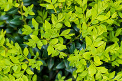 Vers en de donkergroene doos van bukshoutboxtree doorbladert Stock Foto