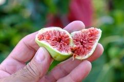 Vers fig. van een boom in een hand Stock Afbeeldingen