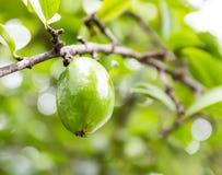 Vers garcinia (madan) fruit op de boom, het tropische Thaise kruid Stock Afbeelding