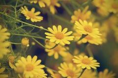 Vers geel madeliefje die in regenachtig seizoen bloeien Royalty-vrije Stock Afbeeldingen