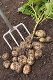 Vers gegraven aardappels Stock Foto