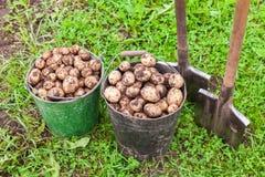 Vers gegraven aardappels in metaalemmers en schoppen Royalty-vrije Stock Foto
