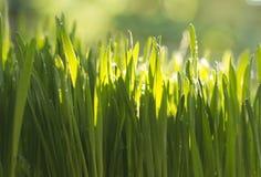 Vers gekweekte Wheatgrass Royalty-vrije Stock Afbeeldingen
