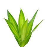 Vers gelukkig bamboe Royalty-vrije Stock Foto's